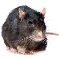Evil eyed Rat