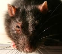Diseased Rat That Looks Hantavirus-Y