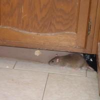Rat Exterminator Services